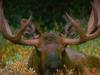 alaska-bull-moose